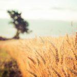 Champ de blé CRC culture céréalière responsable