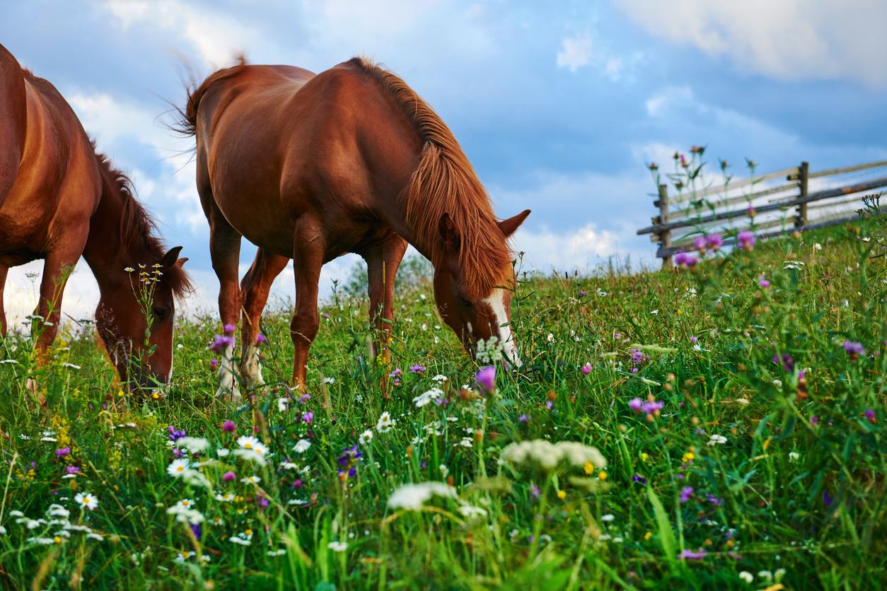Deux chevaux mangeant de l'herbe dans un pré