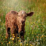 ecole-d-agriculture-france-veau